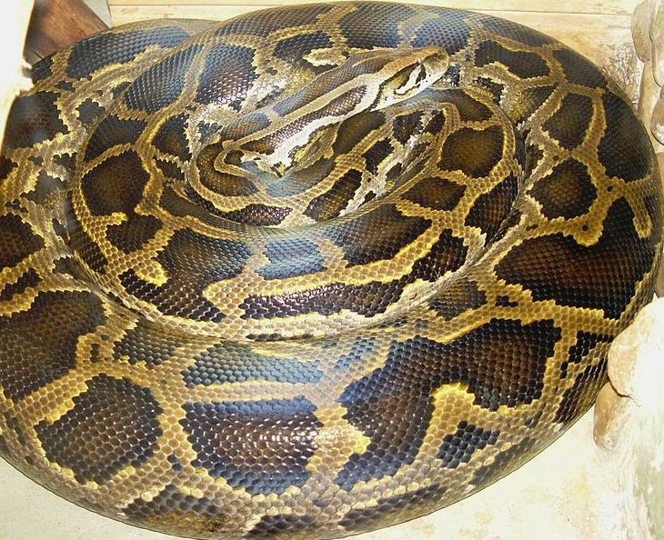 Trouble with Burmese Pythons in South Florida
