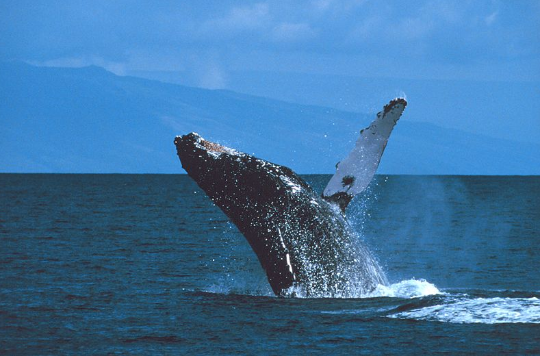 New App Developed to Alert Mariners of Nearby Whale Sightings