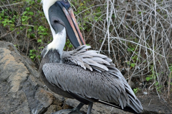 br_pelican_galapagos (FILEminimizer).jpg